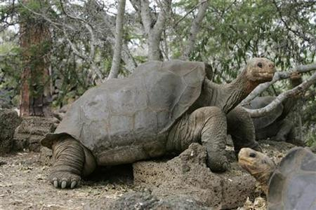 Galapagos bachelor tortoise struggles to be a dad